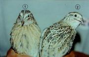 Самцы перепелов,  клетки,  яйца