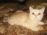 Милые британские котята