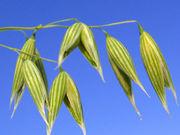Овес пшеница высокого качества,  самовывоз