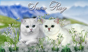 Британские котята окрас серебристая шиншилла