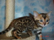 Котята от бенгалов (маленкие тигрятки)