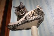 Ласковые котята мейн-куны шоу-класса и домашние любимцы. Доставка