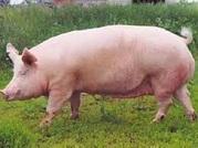 Кормовая добавка для свиней 15%